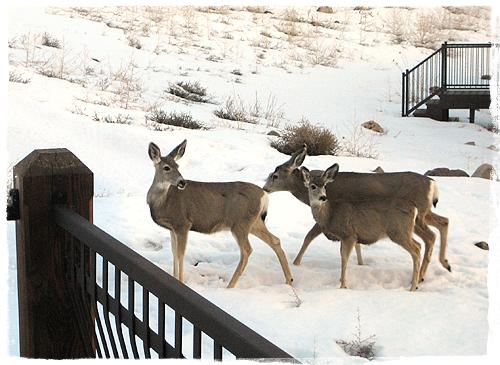 Deer_0599