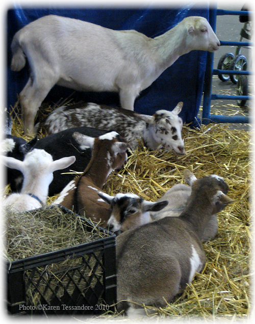 Goats_2286